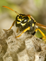 Wasp (buldozder) Tags: macro wasp nest eyes wings insect bug