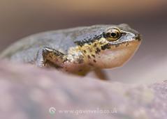 Palmate Newt 22nd April (Gavin Vella) Tags: newts newt nature naturephotography amphibian pond garden gardenpond macro canon7dmkii canon