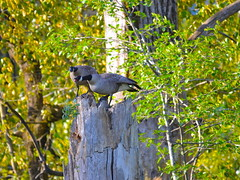 Noisy Stump (Neal D) Tags: bc chilliwack greatblueheronnaturereserve bird goose canadagoose brantacanadensis stump