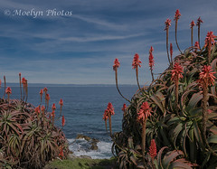 Cliffside Flowers - Pacific Grove (moelynphotos) Tags: flower floweringplant cliff sea pacificocean montereybay westcoast dramaticsky water nature scenicsnature seascape coast nopeople vivid moelynphotos pacificgrove california