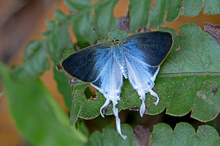 Hypolycaena amasa - the Fluffy Tit (male)