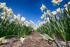 Flowerbulbs 4 - Daffodil (Manuel Speksnijder) Tags: bloemen flowers holland zuidholland southholland hillegom hofduynlaan stationsweg nederland thenetherlands bollen bulbs bloembollen flowerbulbs bollenstreek bulbregion narcis daffodil canoneos5dmarkiii canon ef1635mmf28liiusm white wit blue blauw bluesky blauwelucht