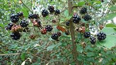 Blackberries (stephengg) Tags: westleton suffolk heritage coast blackberries blackberry black fruit bramble
