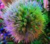 Red Onion Allium Flower Ball At Night (Chic Bee) Tags: redonion allium whiteflowerballs edibleonions tucson arizona flowerpot poollights macromondays jagged psychedelic surreal colorfullights availablelight ledlightbulbs