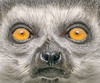 Portrait of a Ring Tailled Lemur (adrians_art) Tags: ringtailledlemur portrait londonzoo uk england fur eyes head