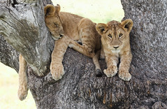 One Is Already Prepared ... (AnyMotion) Tags: lion löwe pantheraleo cub cubs young jung tree baum liontree 2018 anymotion morukopjes serengeti tanzania tansania africa afrika travel reisen animal animals tiere nature natur wildlife 7d2 canoneos7dmarkii ngc npc