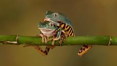 Super Tiger Legged Waxy Monkey Tree Frogs