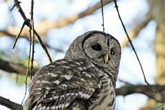 Barred Owl (karma (Karen)) Tags: baltimore maryland home backyard birds barredowl dof bokeh hbw topf25
