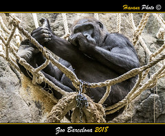 Zoo Barcelona 2018 (Havaux Photo) Tags: barcelona zoo animales primates mamiferos carnivoros reptiles chimpances orangutanes gorilas león dragon comodo tigre panda rojo havaux photo robert canon