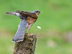 The Feather... (coopsphotomad) Tags: sparrowhawk bird prey predator wild native feather fall green grey blue orange wood moss float wings spread outdoor perch fly animal wildlife nature british britain free beautiful serene deadly kill canon 1dx post hawk birdofprey eye yellow tail feathers