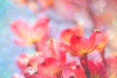 Flowers for Shabat (Hana's images) Tags: dogwood flowers beauty macro spring d3100