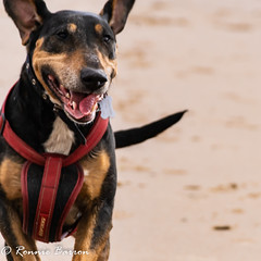 Dogs don't smile?? (RCB4J) Tags: ayrshire rcb4j ronniebarron scotland sonydt1870f3556 sonyilca77m2 art photography irvinebeach beach sand sea clydecoast firthofclyde dogs smiles happy playing running jakob babygrace trailhound siameselurcher dobermanterrier