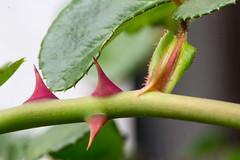 Jagged Edges (Stuart Borrett) Tags: jagged marcromonday 1806 defense ecology leaf macro nature predation rose thorn wilmington northcarolina usa ecophoto summer2018 hmm scale