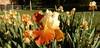 Light yellow and bronze iris, with more behind it (Martin LaBar (going on hiatus)) Tags: southcarolina pickenscounty iridaceae iris irisdomestica lirio flowers irises