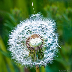 Après le vent (musette thierry) Tags: vert fleur flower flowers flo macro detail nature texture musette thierry d800 nikon tameron 90mm28