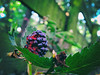 Fresh snack (Chuck Nagillum) Tags: blackberries blackberry garden fruit blackcaps ripe food eat black raspberries plant growing