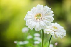 gerbera 4262 (junjiaoyama) Tags: japan flower plant gerbera white spring macro bokeh
