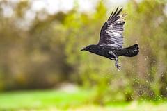 BLAST OFF (Paul Wrights Reserved) Tags: crow bird birding birdphotography birds birdwatching birdinflight flying flyingbird inflight water splashing colour bokeh wing wings flapping feather droplets