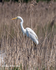 Great White Egret (DougRobertson) Tags: greatwhiteegret bird birdwatcher wildlife rspb hamwall animal wader nature water w coth5