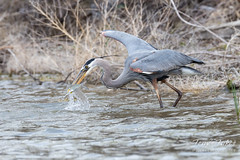 May 1, 2018 - A GreaT Blue Heron nabs a meal at Elaine Valente Open Space. (Tony's Takes)