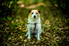 Exploring the Forest (moaan) Tags: kobe hyogo japan jp dog jackrussellterrier kinoko path mountainpath forest woods portrait dogportrait outdoors dof depthoffield focusonforeground selectivefocus bokeh bokehphotography leica leicaphotography leicamp type240 noctilux 50mm f10 leicanoctilux50mmf10 utata 2018