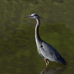 Tolerant (John's Love of Nature) Tags: johnkelley johnsloveofnature greatblueheron ardeaherodias