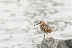 Short billed dowitcher (Nature as Art Photography) Tags: slaughterbeach birds delaware shorebirds