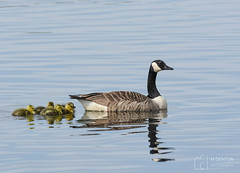 First brood of the year (mikedenton19) Tags: canada goose canadagoose geese branta canadensis brantacanadensis gosling bird watter staidans rspb nature reserve naturereserve brood wildlife leeds west yorkshire westyorkshire swillington ings swillingtonings reflection