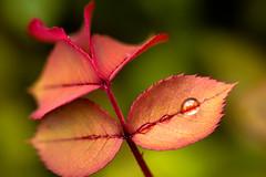 DSC_3750 (Stacey Conrad) Tags: d7500 macro nikon pa summerfield willowstreet water waterdrop rain leaf