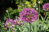 Purple allium flowers (danielhast) Tags: madison wisconsin garden allen centennial gardens plant allium purple flower macro