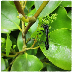 Don't let go! (Julie (thanks for 9 million views)) Tags: hihd mating insect stmarksfly bibiomarci diptera macro hhd griselinia hedge foliage leaves green hww wingwednesday squareformat 2018onephotoeachday canonixus170