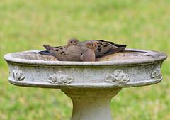 Mourning Dove (M. Coppola) Tags: egretglade florida pasco mourningdove zenaidamacroura adult