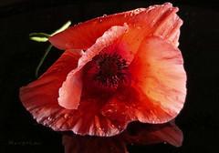 Poppy ... (MargoLuc) Tags: macromondays theme lowkey poppy red flower soft light black droplets reflection