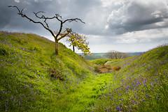_MG_5142.jpg (pixelliott) Tags: blackdownrings ironage fort bluebells flowers