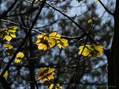 light leaves (Rourkeor) Tags: scotland unitedkingdom gb culzean ayrshire branches leaves buds dof golden olympus omd em1mk2 12100mmpro mft yellow
