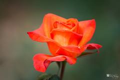 Rose (Hồ Viết Hùng (Thanks so much for 1mil. views!) Tags: rose flowers gardenflowers nature macro vietnam nikond800 nikon200mm plant