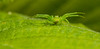 'mon then (markhortonphotography) Tags: arachnid leaf surrey thomisidae wildlife sunlight thatmacroguy nature diaeadorsata hazel markhortonphotography green spider surreyheath macro invertebrate