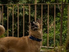 MAJESTIC DOG (Shantum Singh) Tags: dog pet animal bruno breed india majestic grand sunlight fence shantumsingh 50mm f14 flickr perro outside outdoors lieca