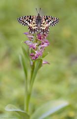 Arriba del todo (sergio estevez) Tags: bokeh color campodegibraltar fauna flowers flores hierba insecto luz macro mariposa arlequín naturaleza orquidea tamronsp90mmf28 sergioestevez