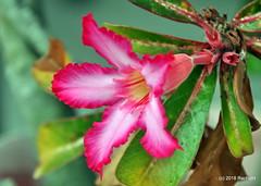 DSC_0402 (RachidH) Tags: flowers blossoms blooms desert rose desertrose adeniumobesum rosedudésert sabistar kudu azalea mockazalea impalalily lis lily lisdesimpalas carribean westindies antilles meadsbay anguilla rachidh nature