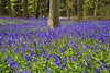 Bluebells in the Chilterns (Miche & Jon Rousell) Tags: bluebells beach chiltern chalk trees spring blue