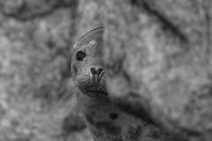 Grey seal (Halichoerus grypus) (Allan Dean Photography) Tags: greyseal eos blackandwhite canon closeup coastal wildlife wild beach