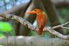 赤翡翠  Ruddy Kingfisher (UG Tsai) Tags: birds 鳥 動物