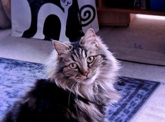 Whiskers on Kitty (pianocats16) Tags: cat kitty portrait beautiful fluffy