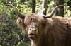 cattle (matt_in_a_field) Tags: cattle highland fuji fujinon fujifilm xt20 portrait animal horn hair long