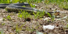 Found this guy on the trail (qball3649) Tags: snake gartner trail slither slippery black yellow