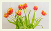 Glorious Tulips (Bob C Images) Tags: flowers tulips stilllife blooms buds leafs stems