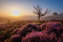 The dead tree (Mario Visser) Tags: xt2 fujifilm heather heide mariovisser posbank purple sunrise veluwe death tree sun sunshine