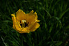 just a little rough around the edges (e-box 65 (off for a while)) Tags: flower tulip spring yellow frühling nikon nikkor d7200 18 105 lowkey