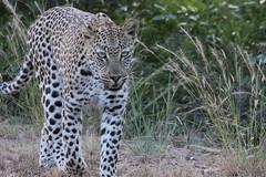 A Walk at Dusk  ( Leopard ) ( Luiperd ) (Pixi2011) Tags: leopard krugernationalpark wildlife nature big5 bigcats wildcats africa